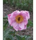 Coralie Rose